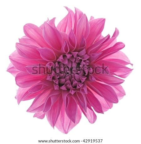 Studio Shot of Red Violet Colored Dahlia. Isolated on White Background. Large Depth of Field.