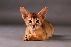 Studio shot of small cute abyssinian kitten being adorable on gray paper textured background. Beautiful purebred short haired kitty. Close up, copy space.