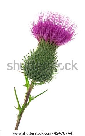 Studio Shot of Thistle Isolated on White Background. National Emblem of Scotland.