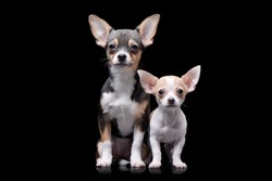Studio shot of two adorable Chihuahua - isolated on black background.