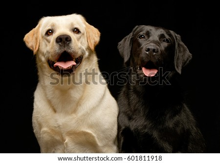 Studio shot of two adorable Labrador retriever sitting on white background. #601811918
