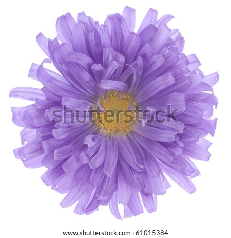Studio Shot of Violet and Blue Colored China Aster Isolated on White Background. Large Depth of Field (DOF). Macro.