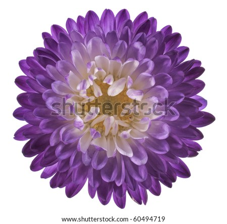 Studio Shot of Violet and Indigo Colored China Aster Isolated on White Background. Large Depth of Field (DOF). Macro.