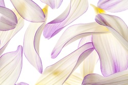 Studio Shot of White and Purple Colored Dahlia Flower Petals Isolated on  White Background. Large Depth of Field (DOF). Macro.