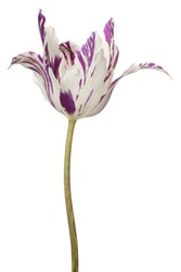 Studio Shot of White and Purple Colored Tulip Flower Isolated on White Background. Large Depth of Field (DOF). Macro.