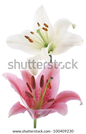 Studio Shot of White and Red Colored Lily Flowers Isolated on White Background. Large Depth of Field (DOF). Macro.