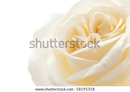 Studio Shot of White and Yellow Colored Rose Isolated on White Background. Large Depth of Field (DOF). Macro.