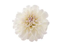 Studio Shot of White Color Dahlia Isolated on White Background. Macro. Symbol of Elegance, Dignity and Good Taste.