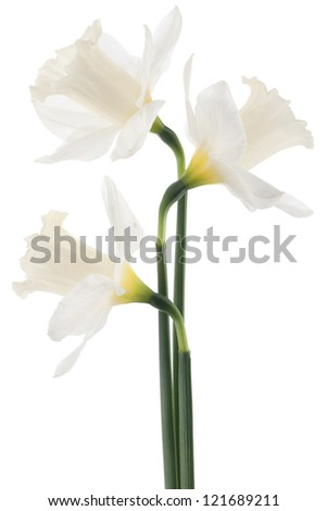 Studio Shot of White Colored Daffodil Flowers Isolated on White Background. Large Depth of Field (DOF). Macro. Symbol of Self-love and Respect.