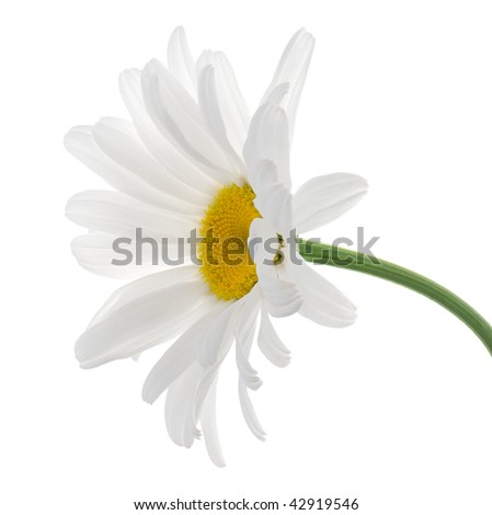 Studio Shot of White Colored Daisy Isolated on White Background. Large Depth of Field.