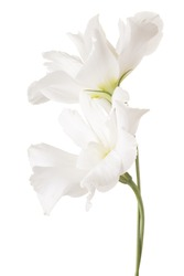Studio Shot of White Colored Eustoma Flowers Isolated on White Background. Large Depth of Field (DOF). Macro.