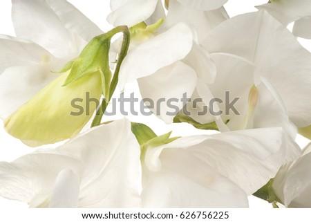 Studio shot of white colored sweet pea flower background macro studio shot of white colored sweet pea flower background macro mightylinksfo