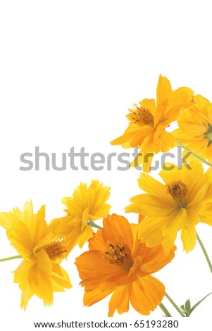 Studio Shot of Yellow and Orange Colored Cosmos Isolated on White Background. Large Depth of Field (DOF). Macro. - stock photo
