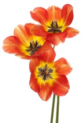 Studio Shot of Yellow and Red Colored Tulip Flowers Isolated on White Background. Large Depth of Field (DOF). Macro. National Flower of The Netherlands, Turkey and Hungary.
