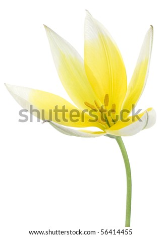 Studio Shot of Yellow and White Colored Tulip Isolated on White Background. Large Depth of Field (DOF).