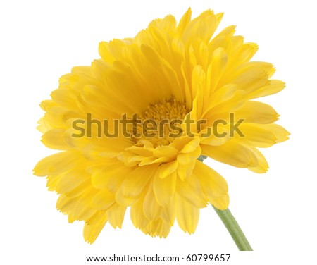 Studio Shot of Yellow Colored Calendula Isolated on White Background. Large Depth of Field (DOF). Macro.