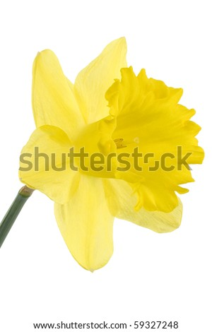 Studio Shot of Yellow Colored Daffodil Isolated on White Background. Large Depth of Field (DOF). Macro. Symbol of Self-love and Respect.