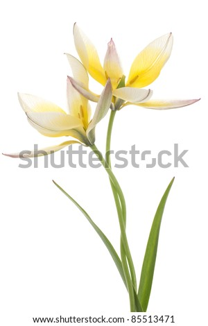 Studio Shot of Yellow Colored Tulip Isolated on White Background. Large Depth of Field (DOF). Macro. Symbol of One-Sided Love. - stock photo