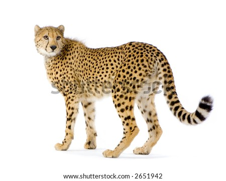 studio Shots of Cheetah standing up in front on a white background. All my pictures are taken in a photo studio #2651942