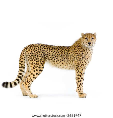 studio Shots of Cheetah standing up in front on a white background. All my pictures are taken in a photo studio #2651947