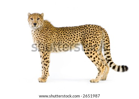studio Shots of Cheetah standing up in front on a white background. All my pictures are taken in a photo studio #2651987