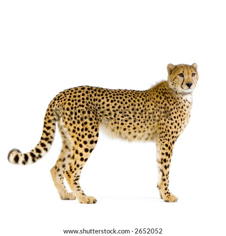 studio Shots of Cheetah standing up in front on a white background. All my pictures are taken in a photo studio #2652052