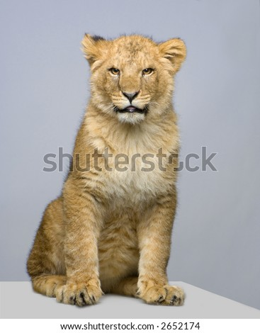 studio Shots of Lion Cub (seven months) sitting in front of a white background. All my pictures are taken in a photo studio.