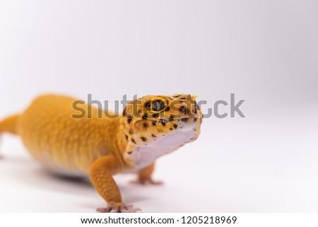 Studio white background leopard gecko picture
