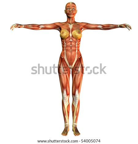 study of the female body muscular front view
