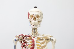 Study of the physiology of the Model and the parts of the human Model in the laboratory.