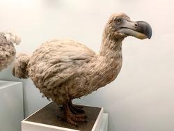 Stuffed dodo bird, an extinct flightless bird from Mauritius, east of Madagascar in the Indian Ocean.