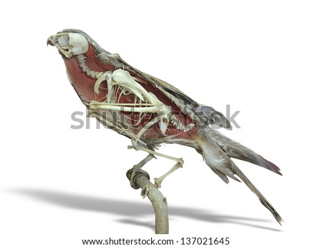 Stuffed falcon bird with skeleton inside isolated over white background