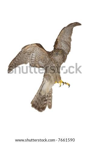 Stuffed hawk, probably sparrowhawk - isolation on white background