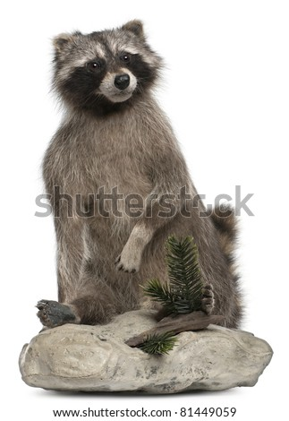Stuffed North American raccoon also known as the common raccoon, in front of white background