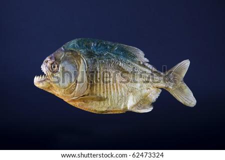 Stuffed piranha fish, side view