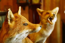 Stuffed Red Fox decorate in home. Red Fox Taxidermy, Selective focus, toned image and free space for text.