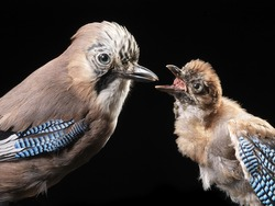 Stuffed specimen of Eurasian jay (Garrulus glandarius). Adult with chick  with black background