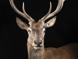Stuffed specimen of Red deer (Cervus elaphus) with black background