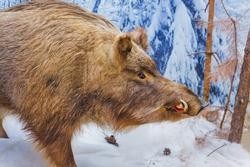 Stuffed wild boar - animal background