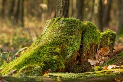 Stump in the autumn forest...