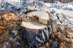 Stump on the ground. Old stumps in the park in winter. Stumps on a forest trail. Deforestation, the constant removal of trees to make way for something other than the forest.