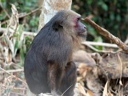 Stump-tailed macaque Bear macaque Macaca arctoides