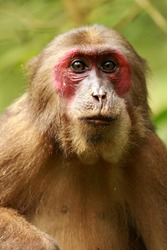Stump Tailed Macaque found the the North-East Indian state of Assam.  Very rare to find them