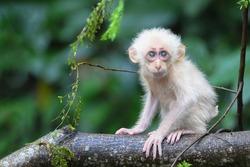 Stump-tailed Macaque (Macaca arctoides) baby monkey white hair