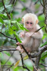 Stump-tailed Macaque (Macaca arctoides) baby monkey white hair on tree in forest.