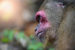 Stump-tailed Macaque (Macaca arctoides) monkey eating food in forest.