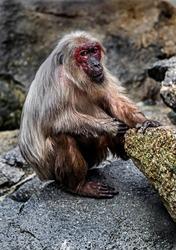 Stump-tailed macaque on the stone. Latin name - Macaca arctoides