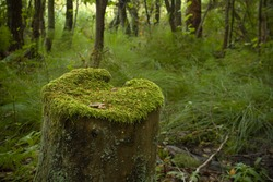 stump with mosses in woodland