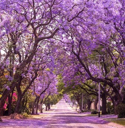 Stunning alley with wonderful violet vibrant jacaranda in bloom. Tenderness. Romantic style. Spring in South Africa. Pretoria. Artistic retouching. Ideal background for greeting card.