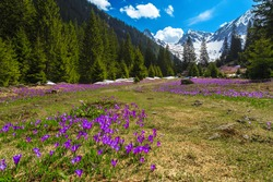 Stunning alpine spring scenery, wonderful flowery forest glade with blooming purple crocus flowers and snowy mountains in background, Fagaras mountains, Carpathians, Transylvania, Romania, Europe